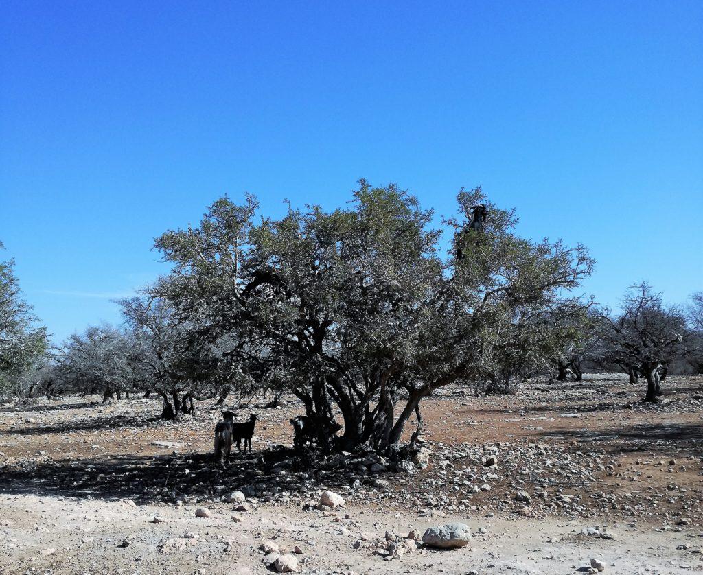 goats agran trees marrakech morocco